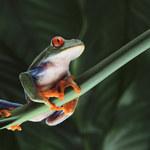 Śmierć dinozaurów tchnęła życie w żaby