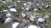 Śmiertelne żniwo piorunów. Zabiły ponad 300 reniferów