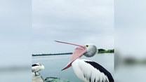 Śmieszne nagranie pelikana. Co on wyprawia?