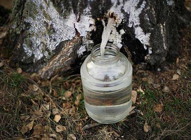 sok z brzozy pozyskanie /© Photogenica