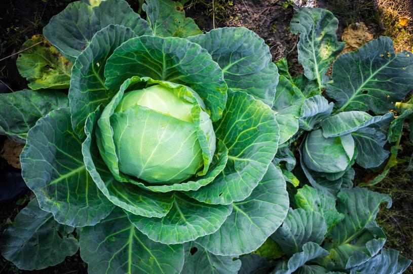 Sok ztego warzywa zawiera wyjątkowy związek /123RF/PICSEL