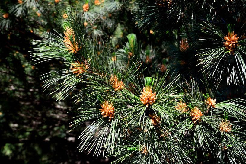 Sosna rumelijska tworzy regularną koronę z okazałych gałęzi /123RF/PICSEL