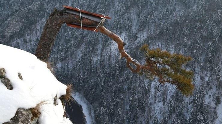 Sosna ze szczytu Sokolicy znalazła się na granicy przetrwania. Pracownicy Pienińskiego Parku Narodowego próbują ratować sędziwe drzewo /Pieniński Park Narodowy/Ewelina Zając /facebook.com