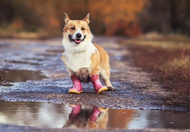 Spacer w deszczu z psem? Nie ma nic zdrowszego! /123RF/PICSEL