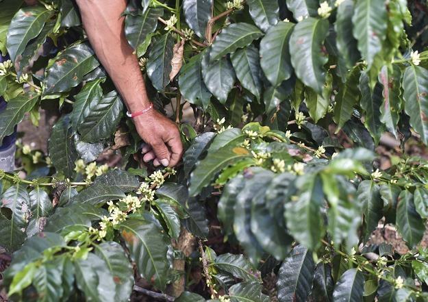 Spadająca wartość brazylijskiego reala przecenia kawę /AFP