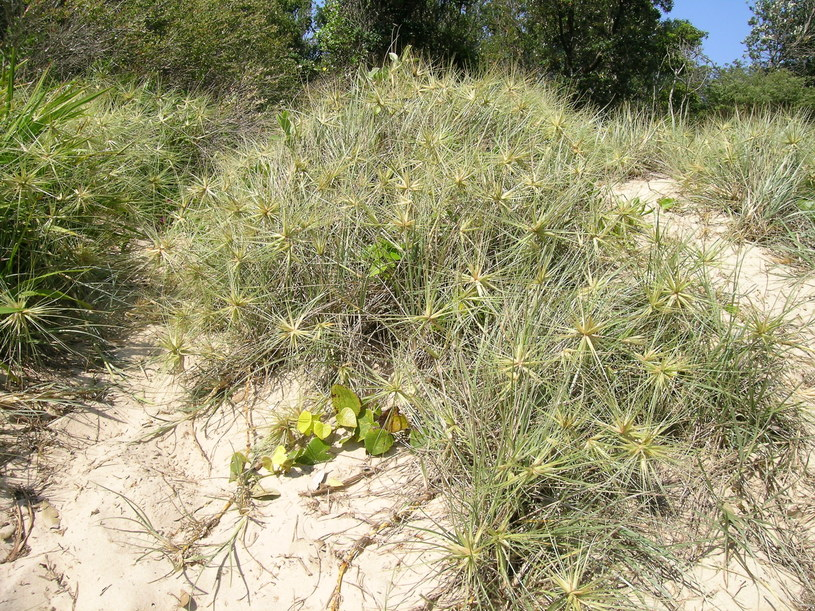 Spinifex to australijski gatunek trawy użyty przez badaczy /Wikimedia Commons /domena publiczna