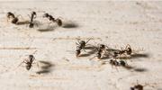 Sposób na mrówki w domu