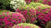 Sposób na piękny ogród - azalie japońskie