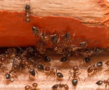 Sposoby na pozbycie się mrówek z domu i ogrodu