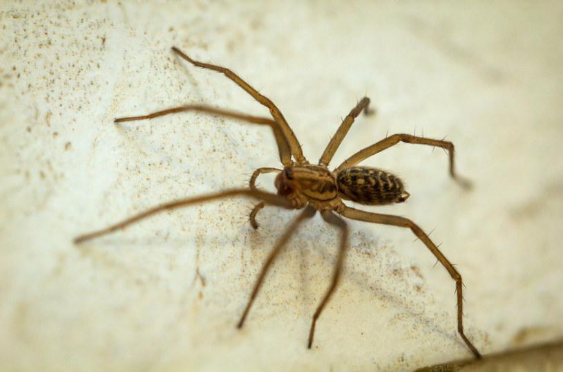Sposoby na pozbycie się pająków z domu /123RF/PICSEL
