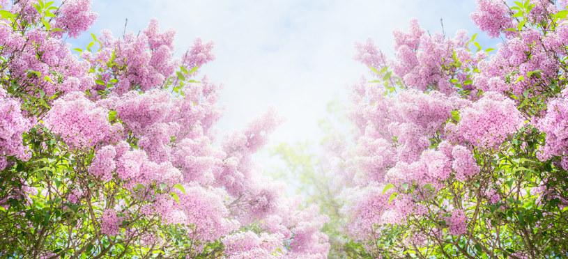 Sprawdź, kiedy posadzić te krzewy, by pięknie rosły na wiosnę /123RF/PICSEL