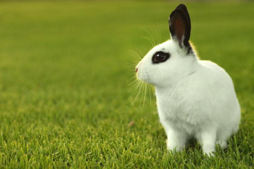 Sprawne odczytywanie potrzeb królika na pewno ułatwi nam życie /123RF/PICSEL