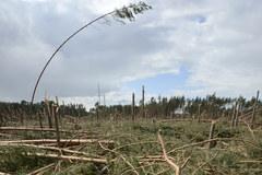 Sprzątanie po nawałnicy w Borach Tucholskich