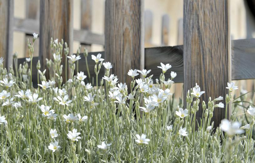 Srebrzyste liście i białe kwiaty wpisują się w trendy kolorystyczne /123RF/PICSEL
