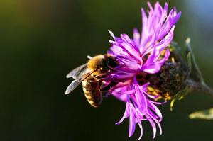 Środki owadobójcze niebezpieczne dla pszczół