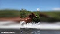 Stadko dzikich koni chłodzi się w rzece, nie bojąc się kajakarki