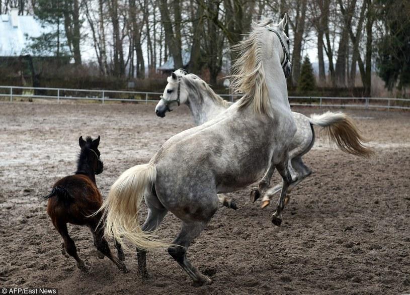 Stadnina koni w Janowie Podlaskim /Janek Skarżyński/AFP Photo /East News