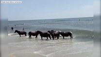 Stado dzikich koni szukające ochłody podczas upału wykąpało się w Oceanie Atlantyckim