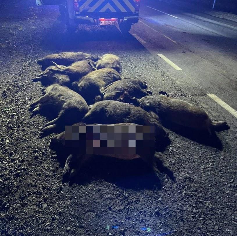 Stado dzików zostało potrącone przez auto dostawcze /Animal Rescue Patrol /