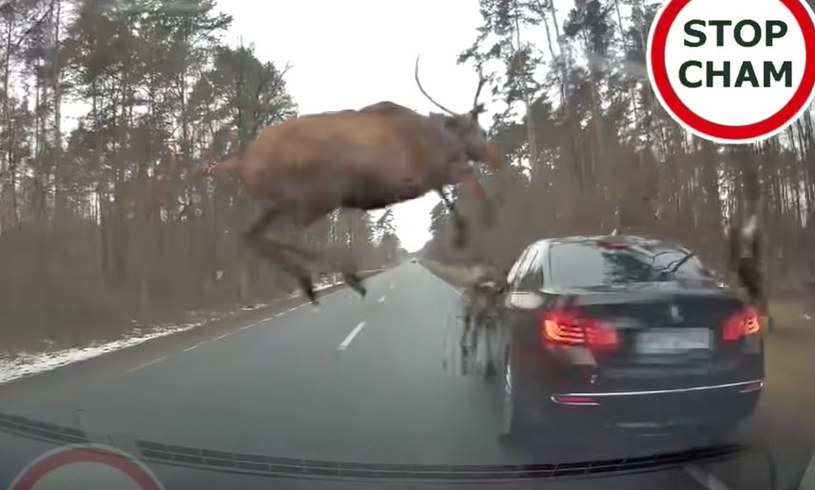 Stado jeleni przebiega przez drogę /YouTube