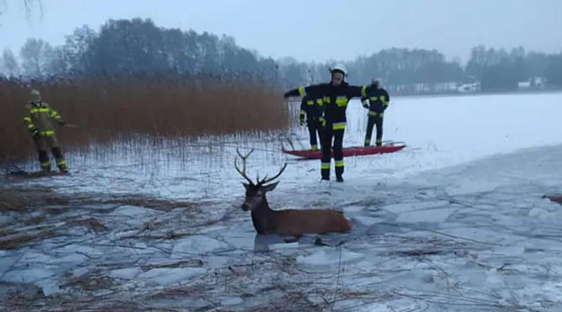 Stado jeleni wpadło do jeziora /OSP Ińsko /