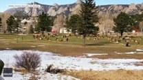 Stado łosi na... polu golfowym. Zwierzęta wyglądały na zrelaksowane