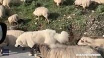 Stado owiec zablokowało ruch na drodze