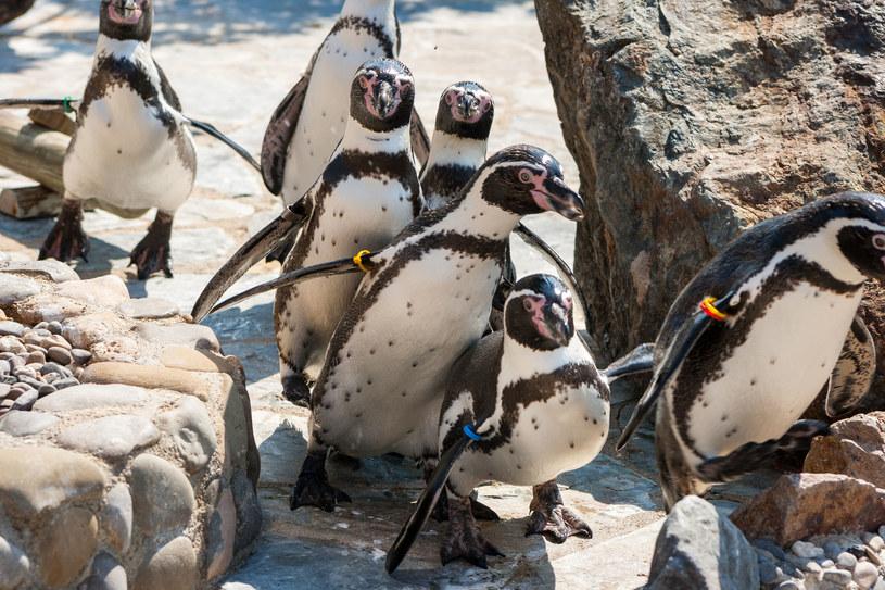Stado pingwinów zamieszka w krakowskim ZOO /123RF/PICSEL
