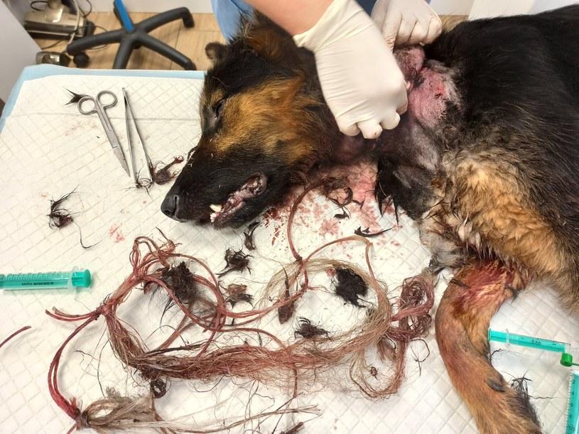 Stan psa był bardzo poważny. Na szczęście udało się go uratować. /INTERIA.PL