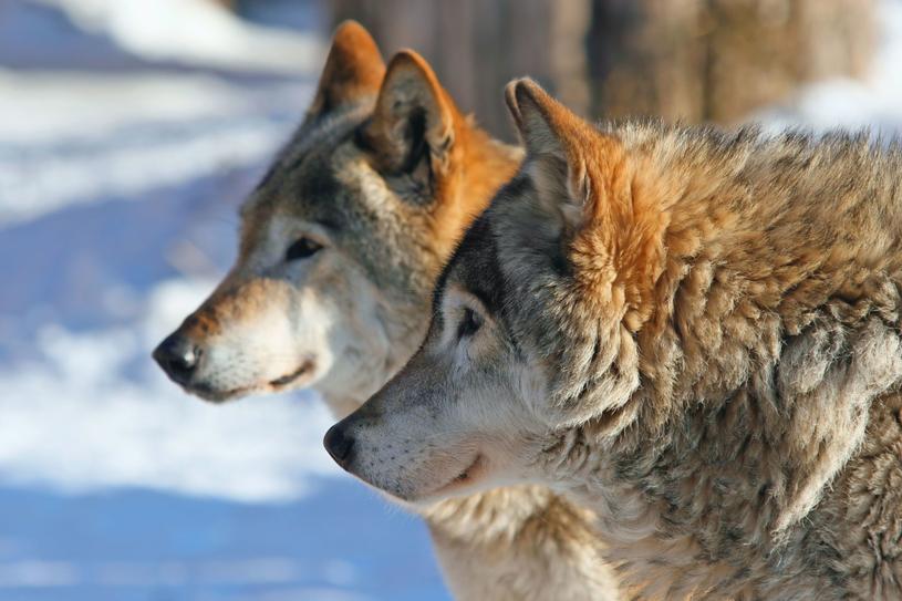 Stare wilki mogą liczyć na opiekę stada. /123RF/PICSEL