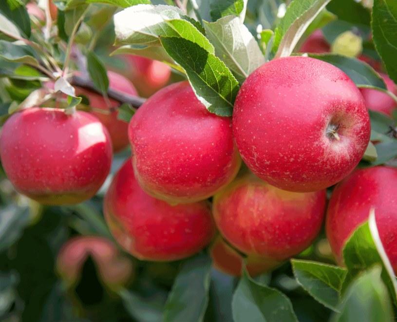 Starsze drzewka owocowe co 2-3 lata  dobrze jest nawieźć porcją kompostu lub obornika /123RF/PICSEL