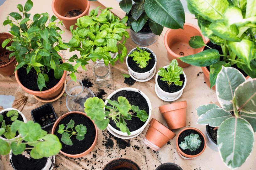 Starsze rośliny wykorzystaj do wyhodowania młodych /123RF/PICSEL