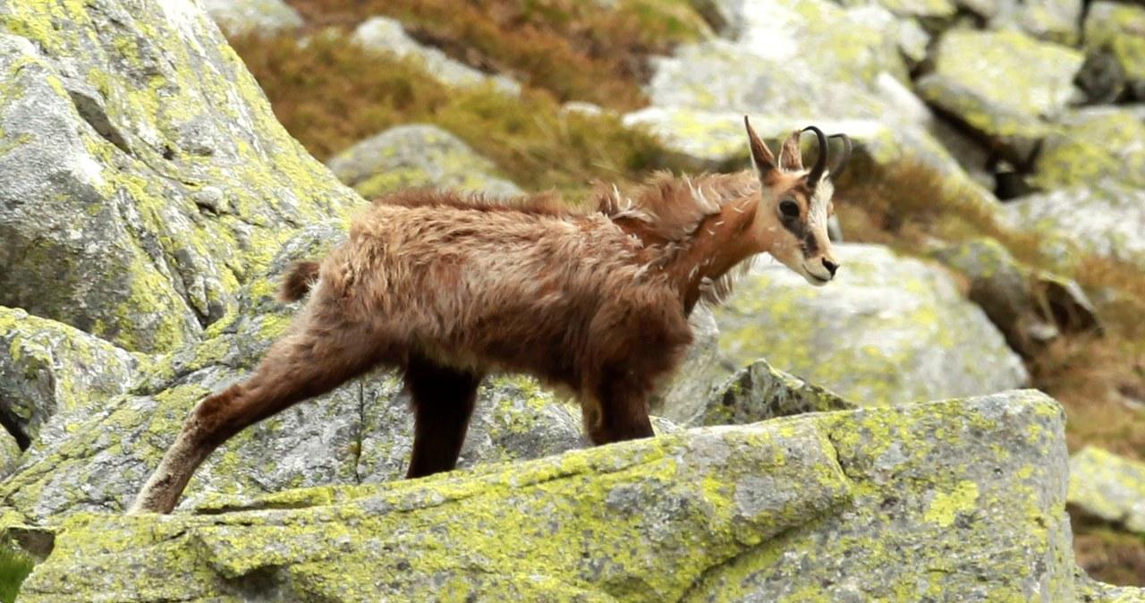 Start liczenia kozic w Tatrach!