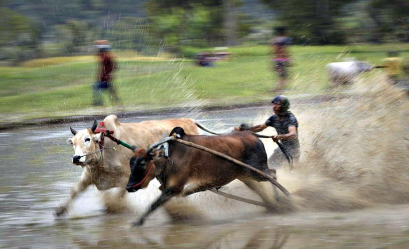 Sterowanie dwoma rozpędzonymi krowami to prawdziwa sztuka! /East News