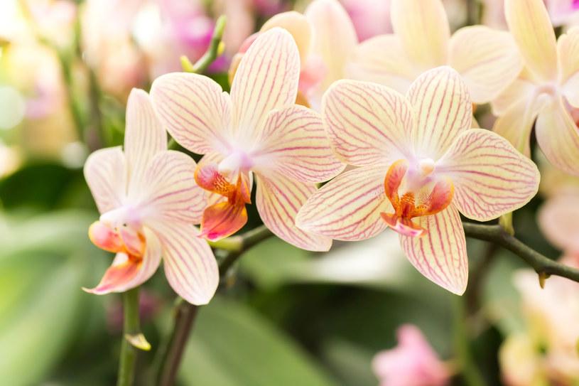 Storczyki są bardzo popularne. Te zjawiskowe kwiaty, jeżeli tylko są odpowiednio pielęgnowane, na długo mogą stać się prawdziwą ozdobą każdego wnętrza /123RF/PICSEL