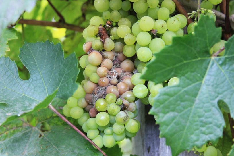 Stosowanie pestycydów może chronić owoce i warzywa np. przed szarą pleśnią