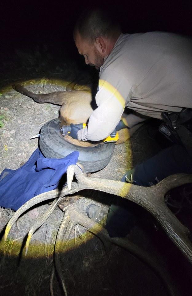 Strażnicy zdjęli oponę z szyi jelenia /Colorado Parks & Wildlife /