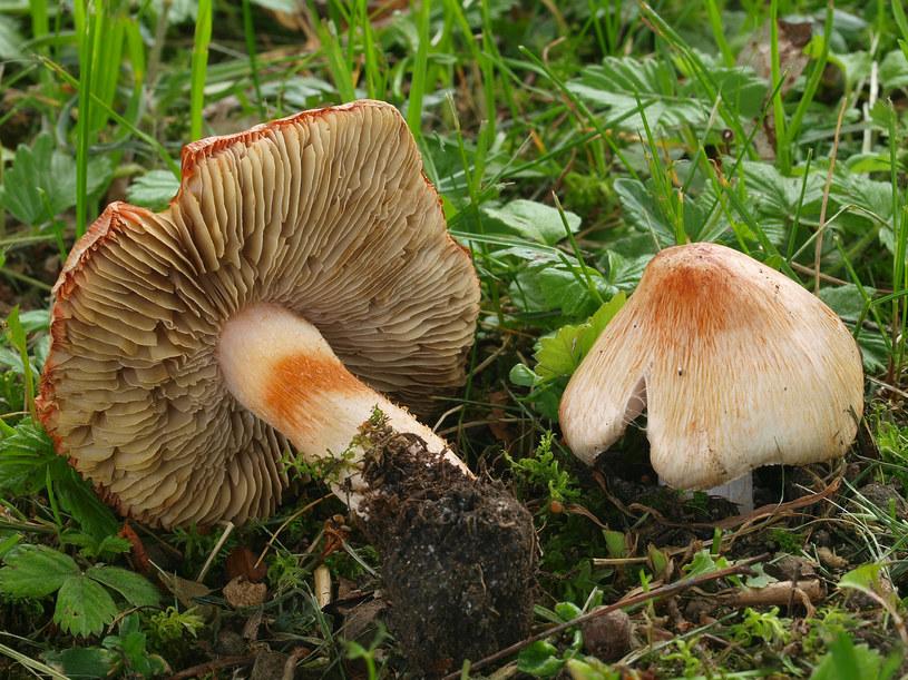 Strzępiak ceglasty jest trujący i niebezpieczny dla grzybiarzy /Autorstwa Andreas Kunze - Praca własna, CC BY-SA 3.0, https://commons.wikimedia.org/w/index.php?curid=14883671 /Wikimedia