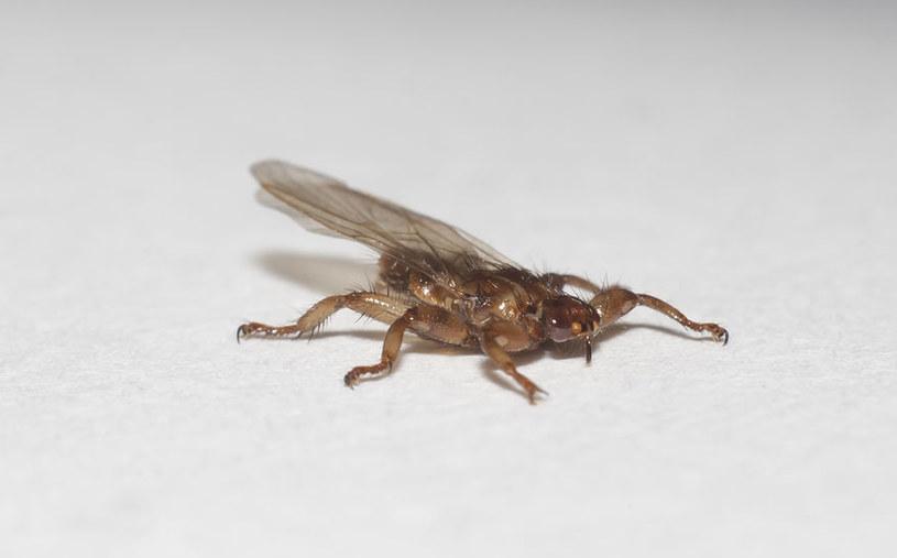 Strzyżak sarni może boleśnie ukąsić człowieka /123RF/PICSEL