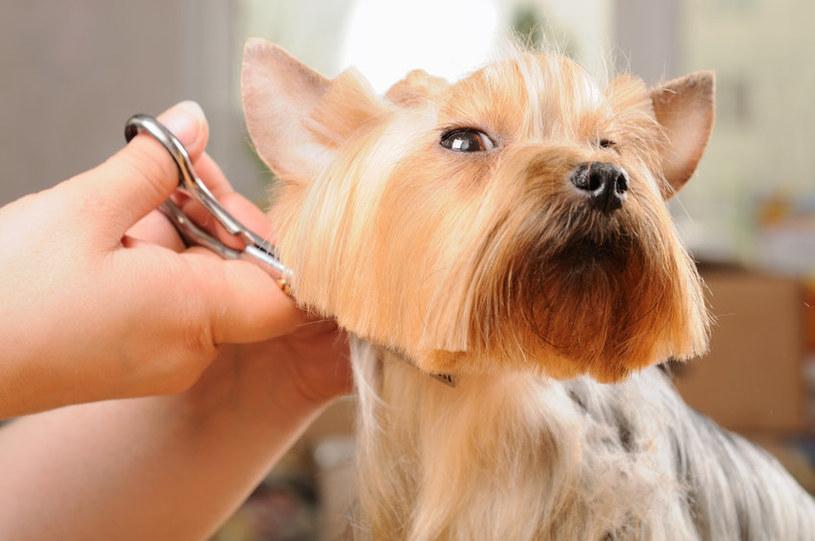Strzyżenie psa: Jak samodzielnie ostrzyc psa w domu? /123RF/PICSEL