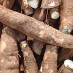 Stworzono genetycznie modyfikowany maniok
