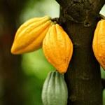 Stworzono kakaowce modyfikowane genetycznie