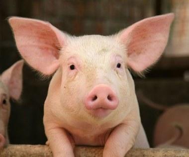 Stworzono świnie, które nie odrzucają przeszczepów od ludzi
