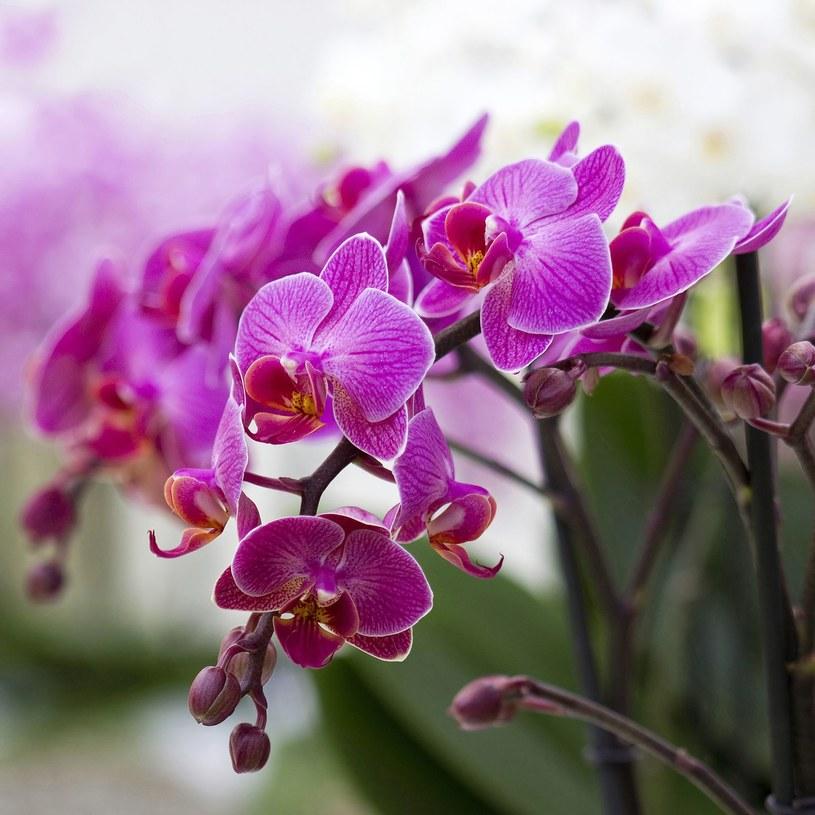 Substancje aktywne zawarte w ekstraktach z orchidei doskonale regulują syntezę kolagenu, odpowiedzialnego za gładkość i jędrność skóry /123RF/PICSEL