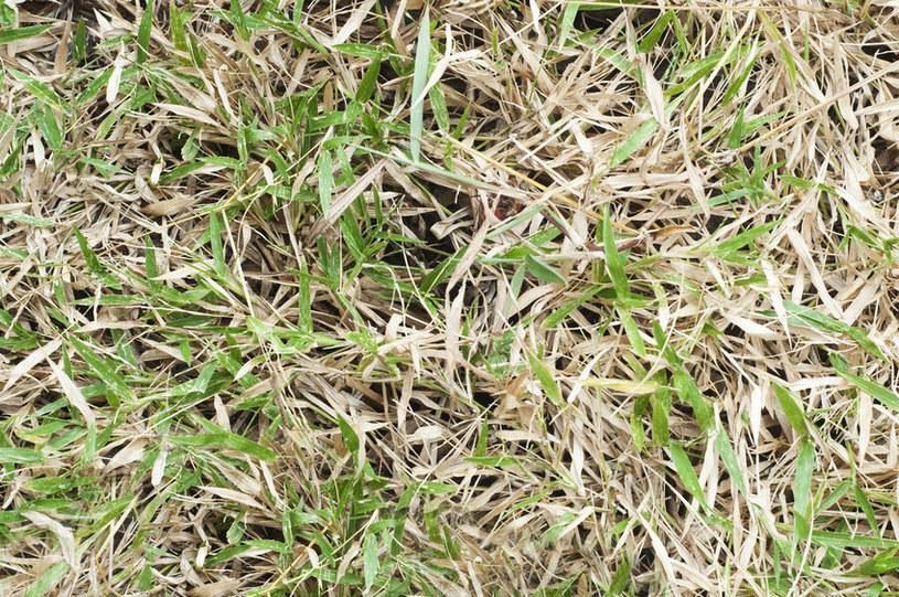 Suchy trawnik /©123RF/PICSEL
