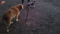 Suczka wyprowadziła szczeniaka na spacer. Urocze