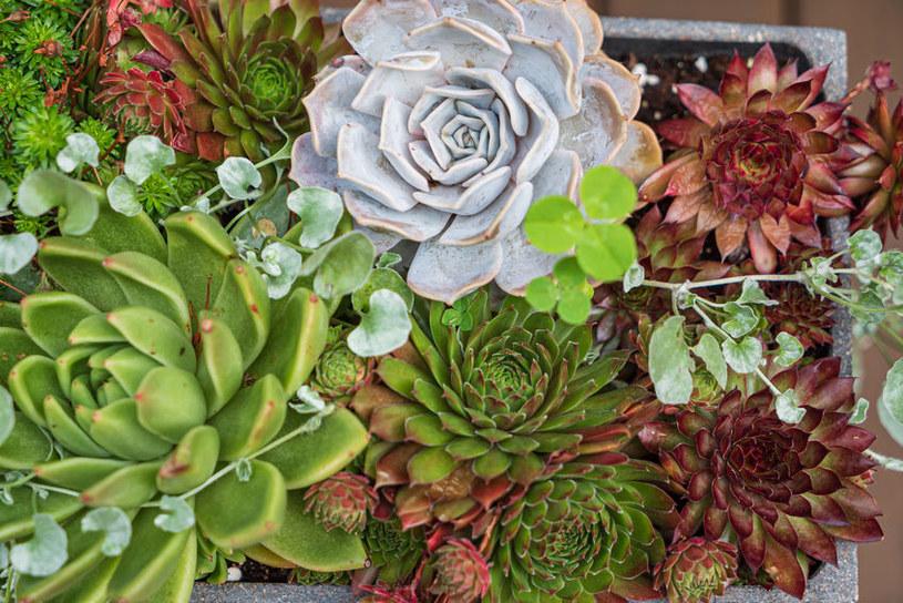 Sukulenty nie są bardzo wymagającymi roślinami /123RF/PICSEL