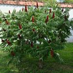 Sumak octowiec: Przepiękna ozdoba ogrodu