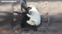 Sunia bez jednej łapy nauczyła się kopać dołki.