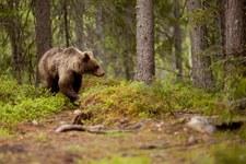 """Super Express"": Pod Augustowem grasuje niedźwiedź"